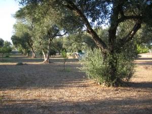 Olive tree pre-pruning