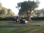 2 - olives get collected by small tractor